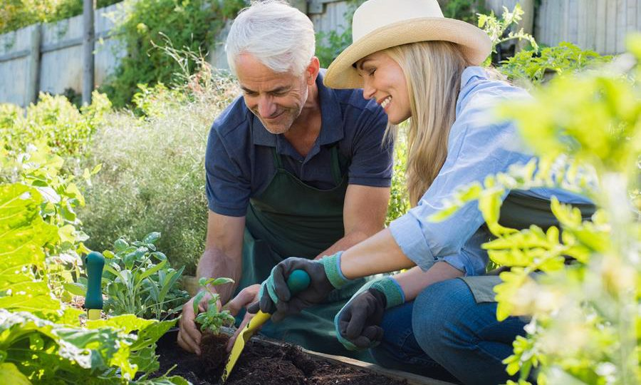 Senior couple planting seedlings of basil in their vegetable garden. Happy mature man and smiling woman enjoying gardening in the field.